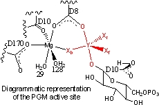 The active site of PGM